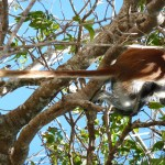 red colobus monkey sitting in garden