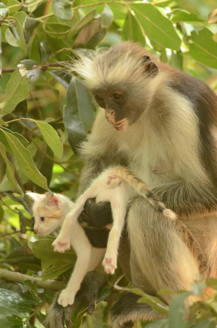 red colobus monkey & kitten